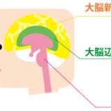 大脳_10